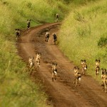 African Wild Dog Behaviour, Monitoring & Conservation
