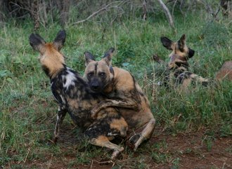 Mating Dogs Thanda : wild dogs mating sees