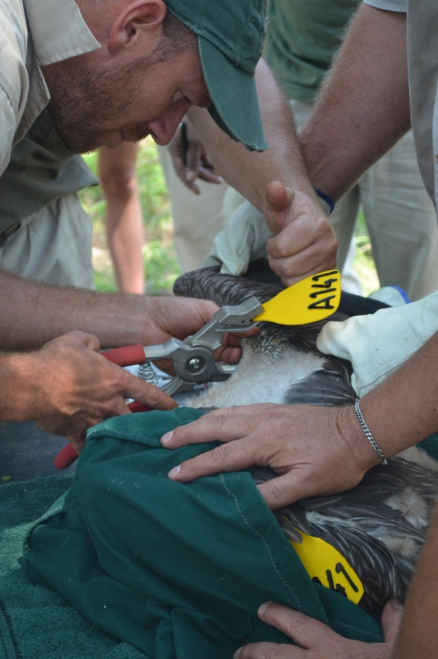 The Mkhuze Section Ranger tagging a vulture