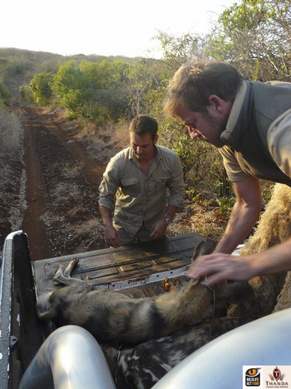 Chris Kelly loading the African Wild Dogs