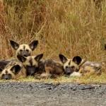 Crossroad Wild Dog pack, Hluhluwe, South Africa