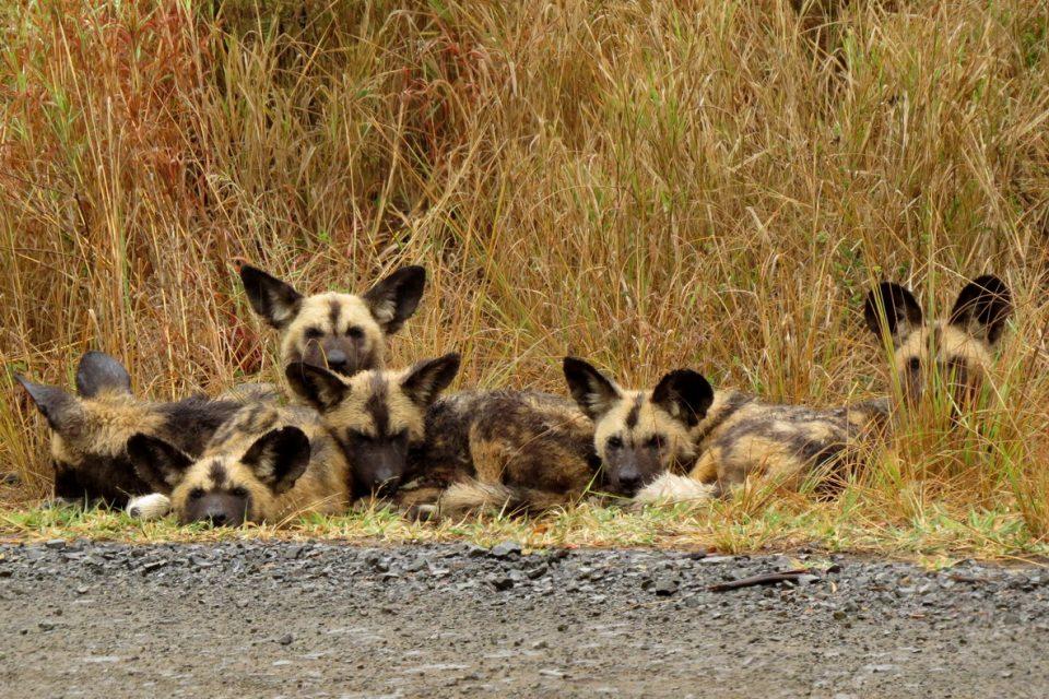 Crossroads Pack, Hluhluwe, South Africa