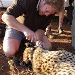 Chris Kelly Collaring a Cheetah