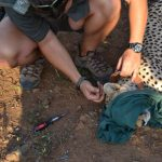 Collaring a Cheetah