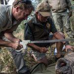 Rhino Dehorning. Photo: Kelvin Trautman