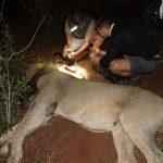 Lion Collaring