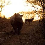Black Rhino & Wild Dog Photo Pippa Orpen