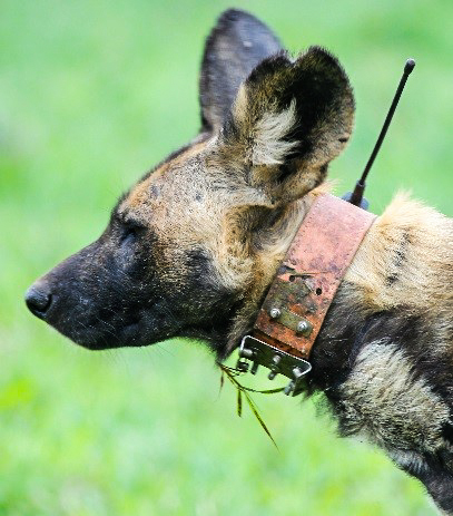 Satellite Dog Collar