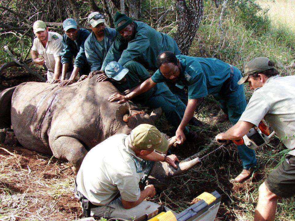 Black Rhino capture by Bronwen Kelly