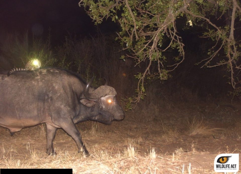 Hluhluwe Camera trap Hitch-hiking Genet on Buffalo