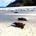 Baby Hawksbill Turtles