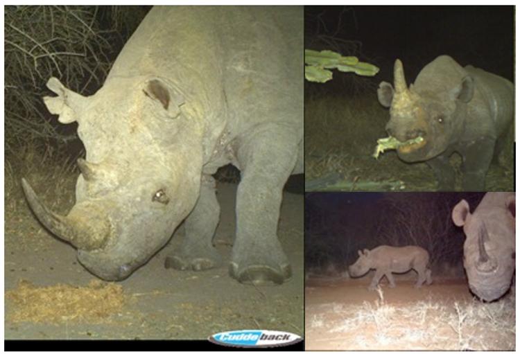 Various black rhino on Camera Traps