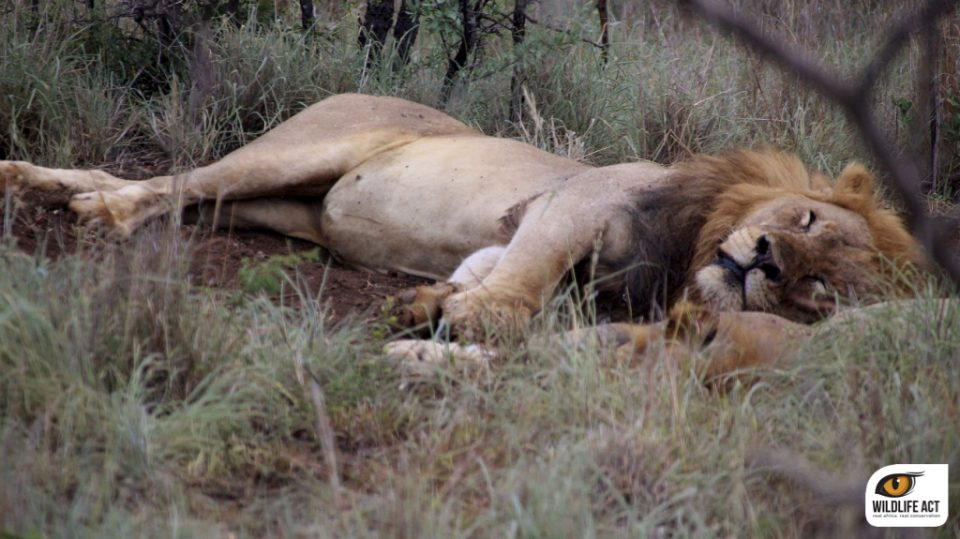 Male lion Wildlife ACT Zululand Rhino Reserve