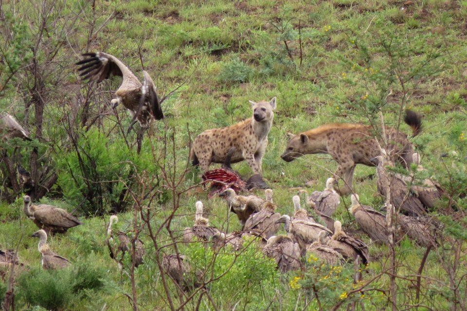 Hyenas scavanging