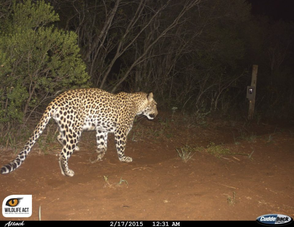 Leopard camera trap ZRR