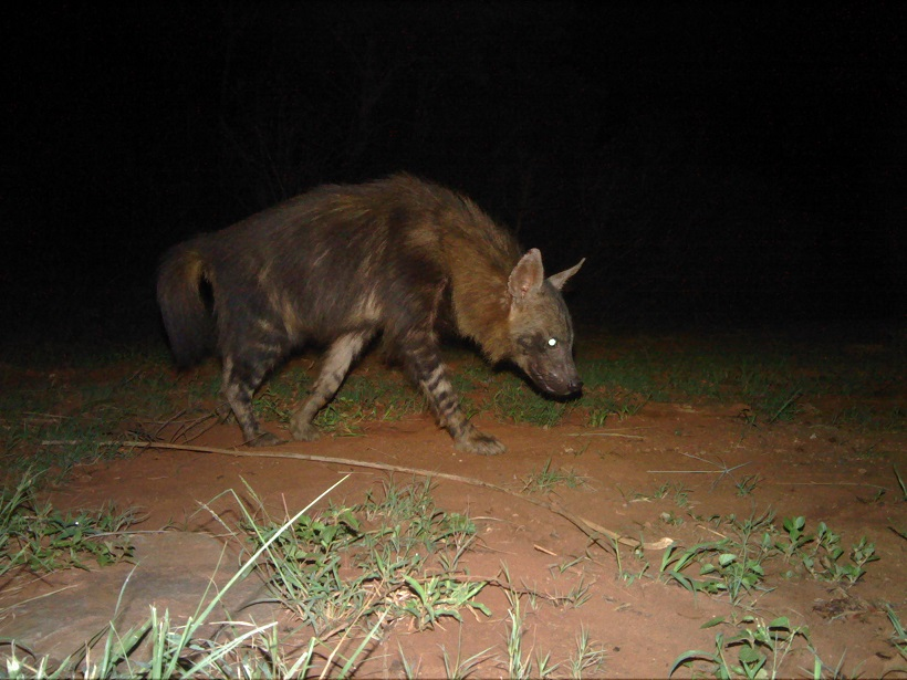Brown Hyena Camera Trap Photo