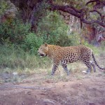 Ithala Leopard camera trap - wildlife act