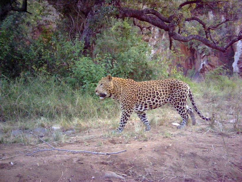 Ithala Leopard Survey camera trap - wildlife act