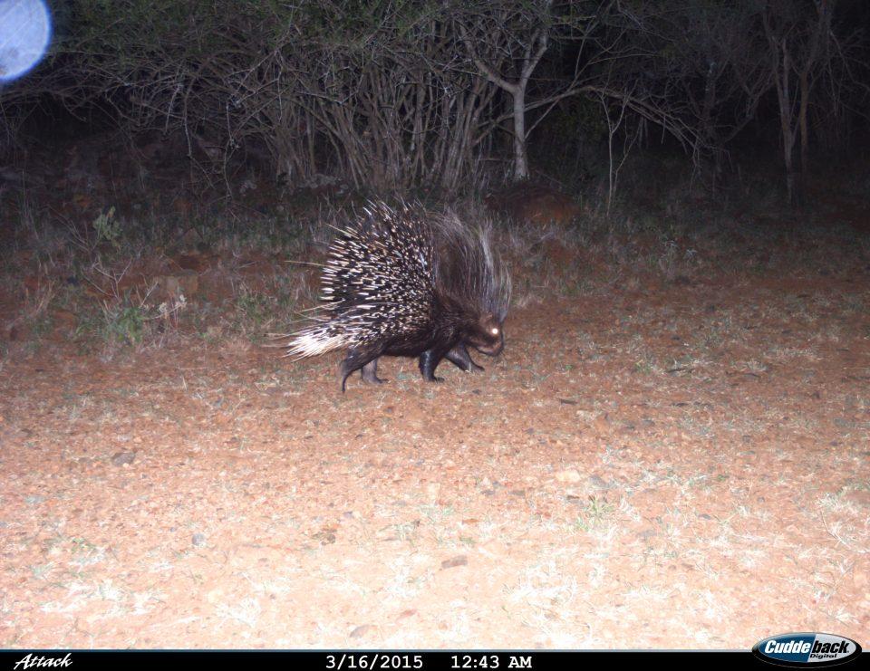 Somkhanda Camera Trap Images Cape Porcupine