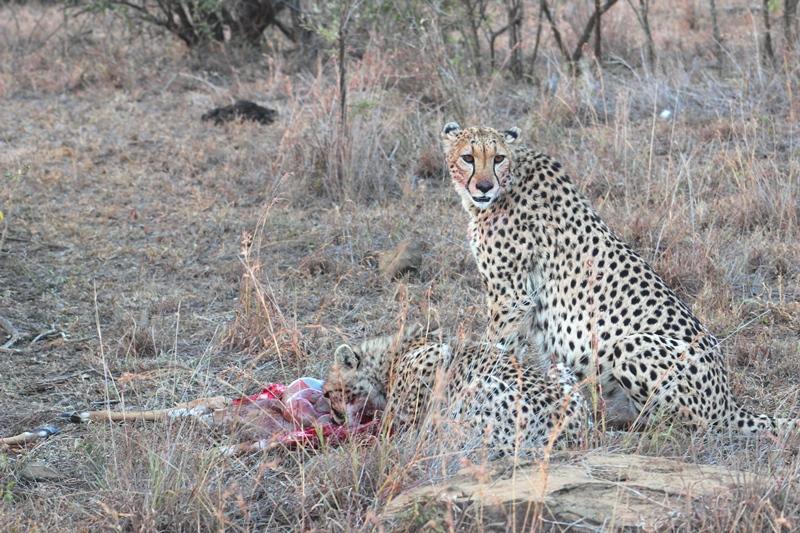 Cheetah iMfolozi