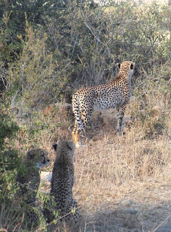 Cheetah and cubs iMfolozi
