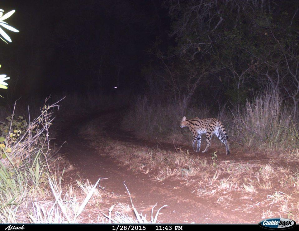 Somkhanda Camera Trap Images Serval
