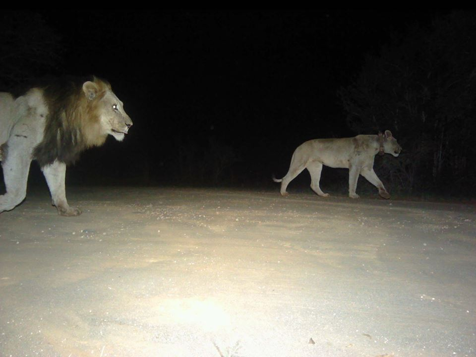 LION CAUGHT ON HLUHLUWE CAMERA TRAP