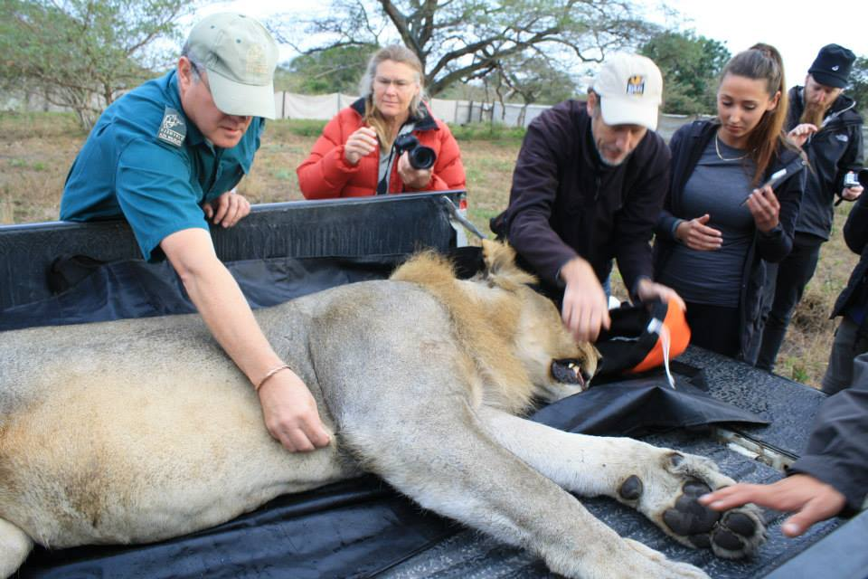 A lion relocation in Tembe National Elephant Park