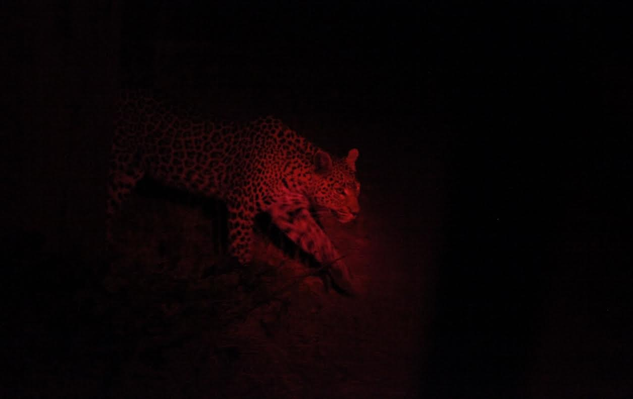 Leopard Okavango Night 3