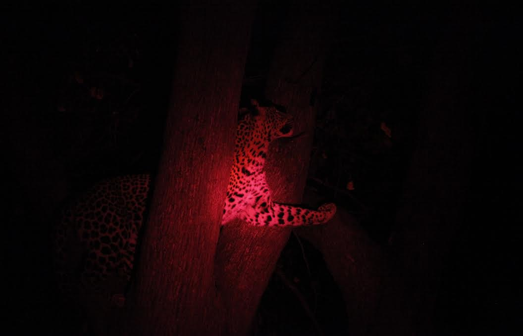Leopard Okavango Night1