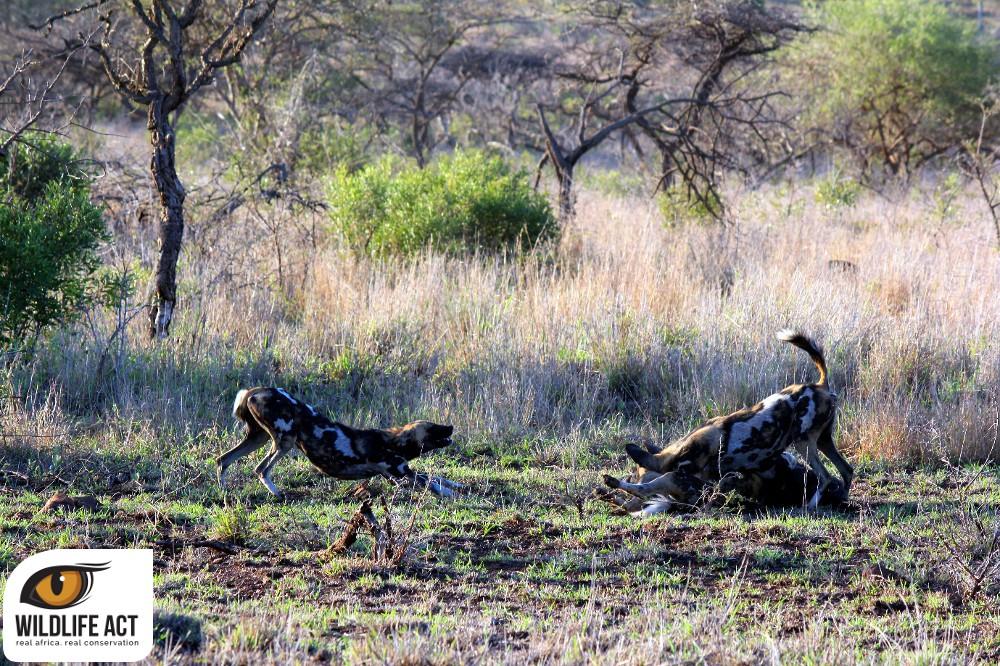 Dogs Zululand Rhino Reserve.