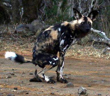 Sokwezela Wild Dog Scat