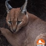 ATTICUS Table Mountain Caracal #10