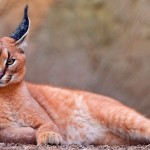 The Charasmatic Caracal