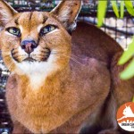 FIRE LILY - Table Mountain Caracal 03