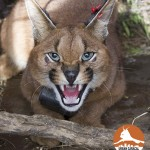 JASPER - Table Mountain Caracal #08