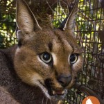 RATEL Table Mountain Caracal #04
