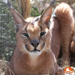 SAVANNAH Table Mountain Caracal #02