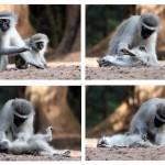 Allogrooming Vervet Monkeys
