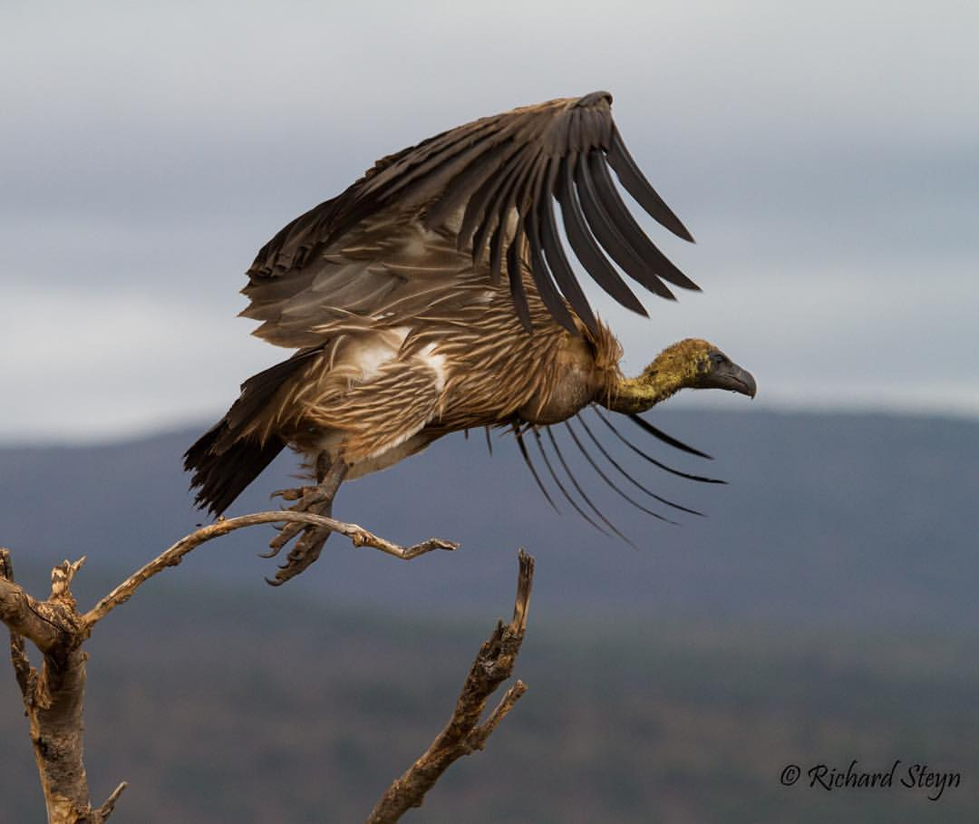 White-backed Vulture in flight. Photo by Richard Steyn