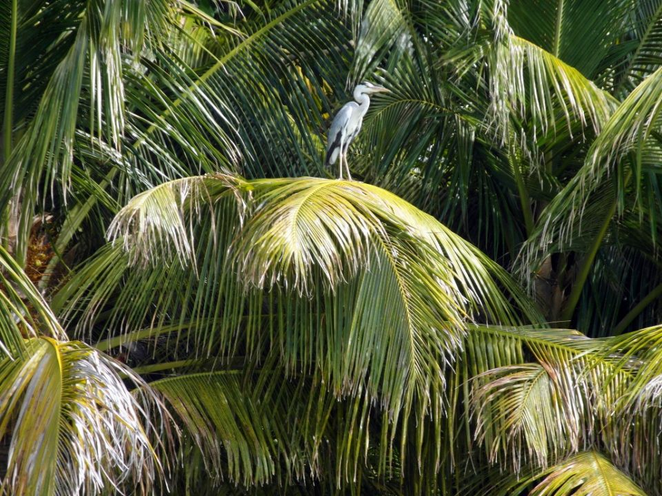 Airing the Dirty Laundry of a Coconut Palm