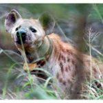 Collared Hyena. Photo by Linda Cockburn
