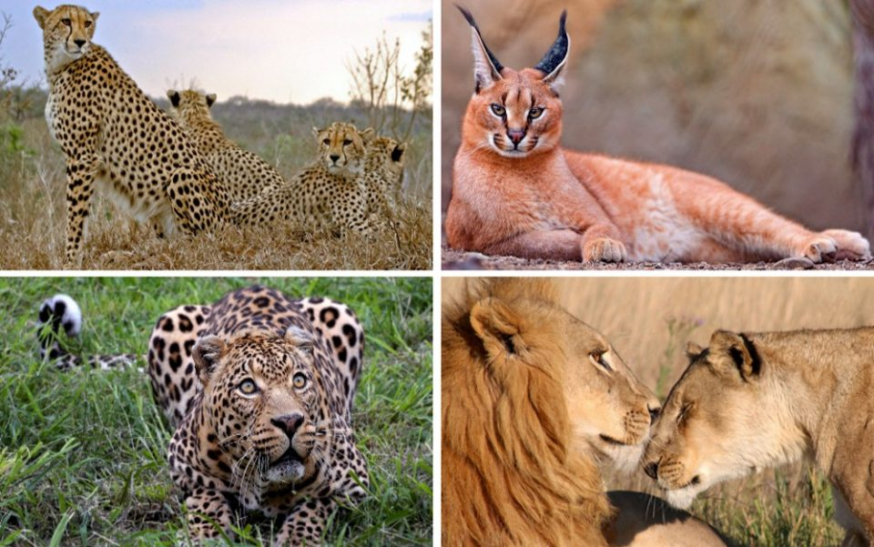big-cat-conservation-web
