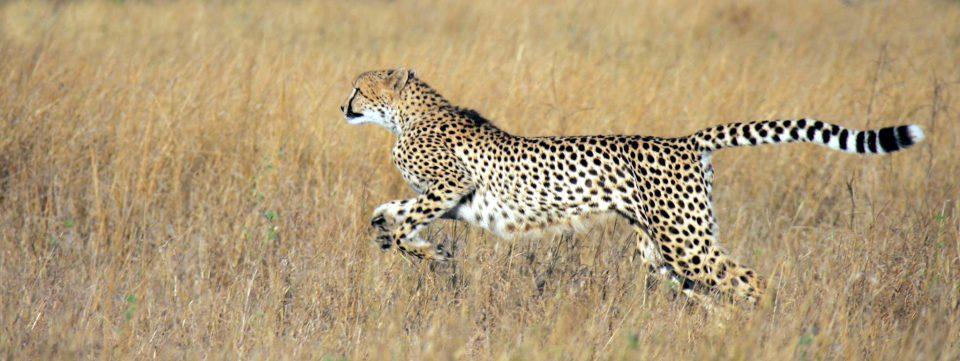 Cheetah Header