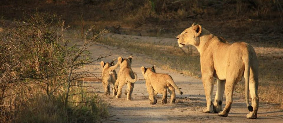 World Wildlife Day 2017 - Lions Header