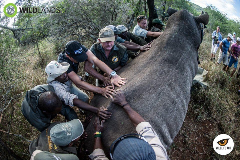 Pushing Rhino into comfortable position - Kelvin Trautman - Rhino Poaching