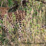 Leopard sighting in uMkhuze 2017. Photo by Miroslav Goranov