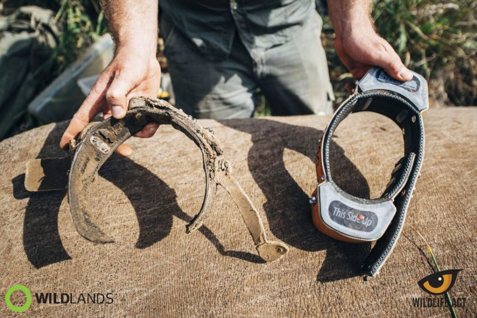 Old vs New Tracking Collar. Photo by Kelvin Trautman