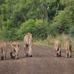 uMkhuze Lions