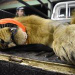 Tembe Phinda Lion Relocation